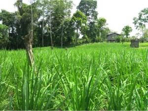 A rice field in Kurpa